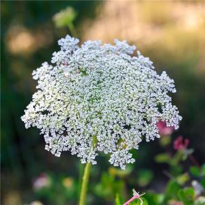 Slöjsilja (Biskops blomma)