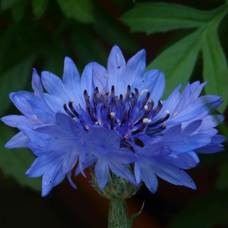 Dvärgblåklint (Bachelor Button - blå)
