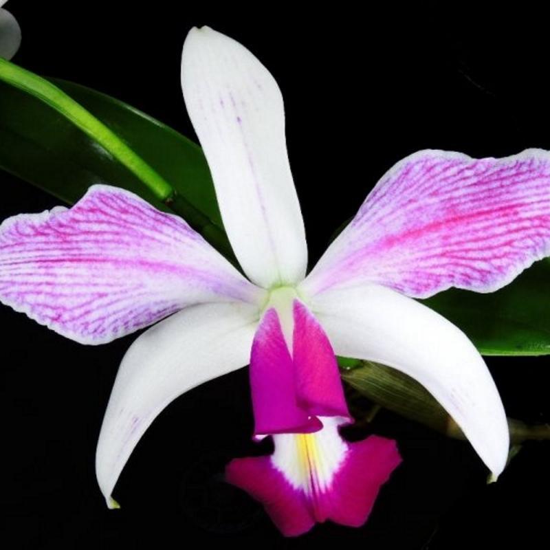 Cattleya orkidé  - Violacea