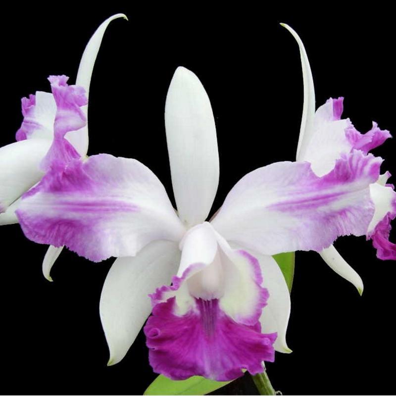 Cattleya orkidé  - Intermedia (aquinii)