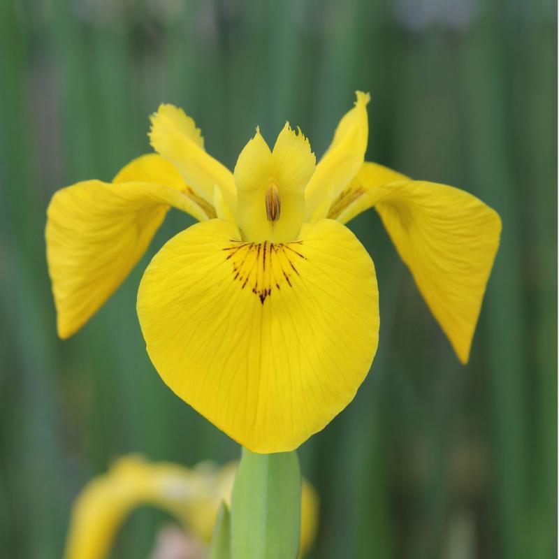 Gul iris (Iris Pseudacorus)