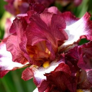 Doftande germanica iris - Crinoline