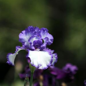 Doftande germanica iris - Blue flag