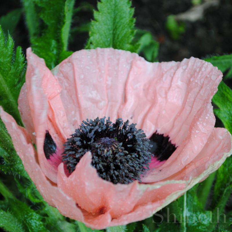 Korallrosa trädgårdsjättevallmo - Queen Alexandra