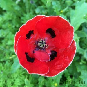 Vit trädgårdsvallmo - Röd med vit