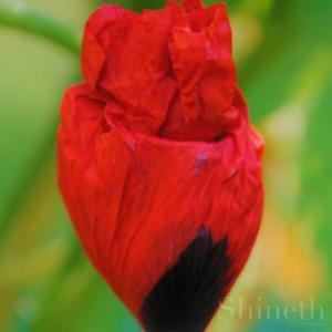 Röd fläckvallmo - Lady Bird