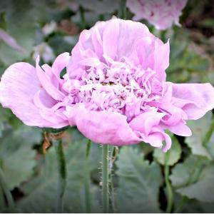 Pionvallmo - Lilac