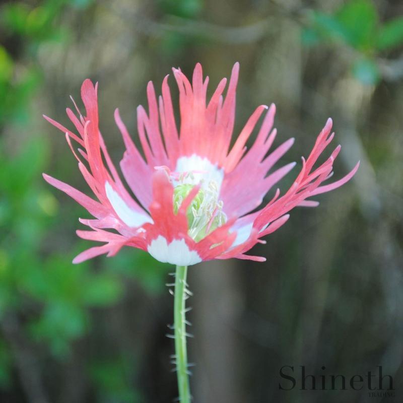 Fjädervallmo - Pink Bicolor