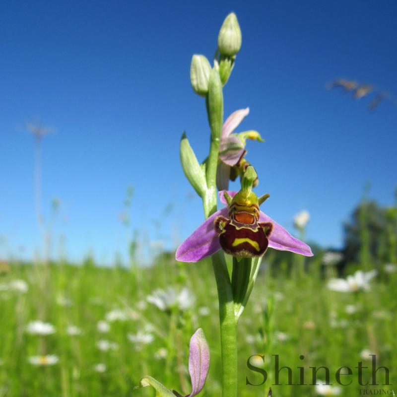 Biorkidé (Ophrys apifera)