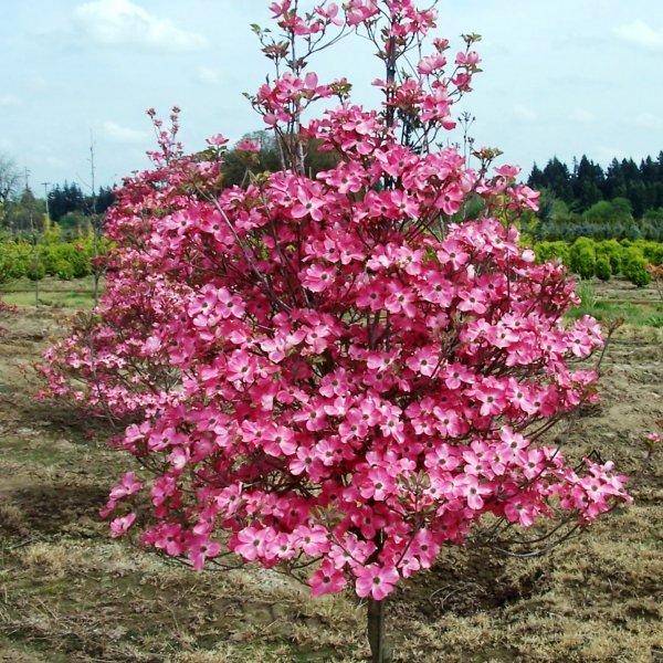 Blomsterkornell (Cornus Florida rubra)