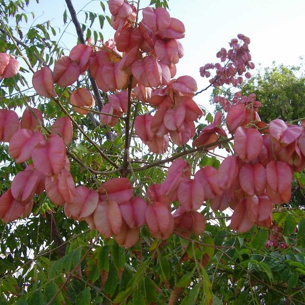 Chinese Flame Tree (Koelreuteria bipinnata)