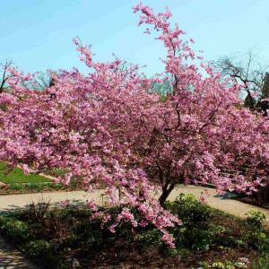 Bergkörsbär (Prunus sargentii)