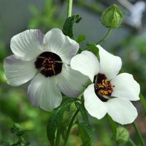 Timvisare - Hibiscus Trionum