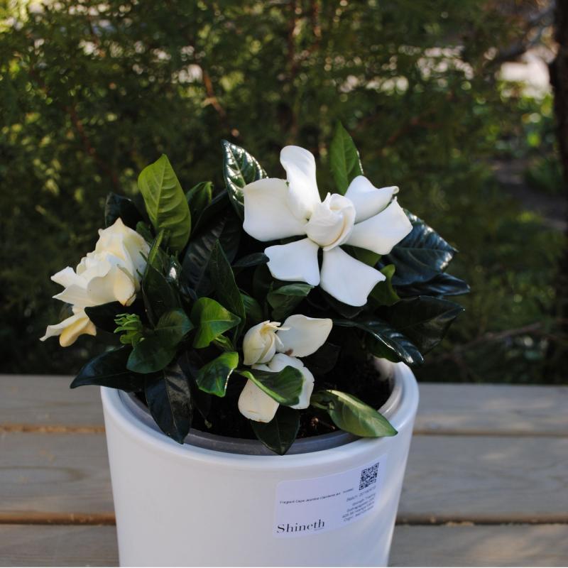 Fragrant Cape Jasmine (Gardenia jasminoides)