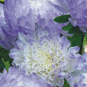 Vit/blå Kinesisk Aster (Callistephus)