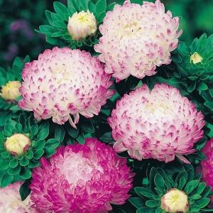 Rosa Kinesisk Aster (Callistephus Chinensis Opus)