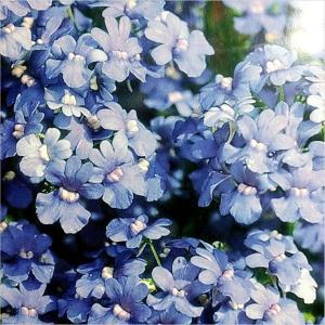 Nemesia (Versicolor Blue Gem)
