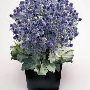 Rysk Martorn (Eryngium Planum)