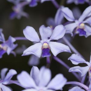 Vanda coerulescens orkidé