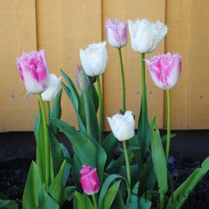 Tulpaner - fyra olika fransblommiga tulpaner (mix)