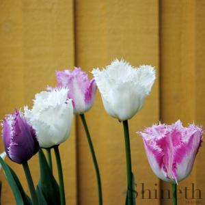Tulpaner - fem olika fransade tulpaner (mix)
