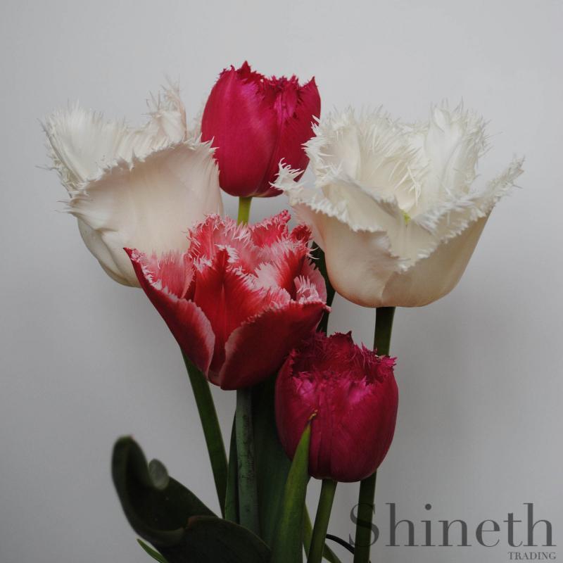 Fransade tulpaner - Shineths röd och vita favoritmix