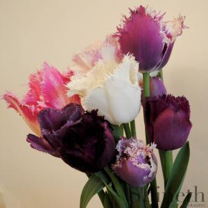 Fransade tulpaner - Elegant blandning av olika sorter (mix)