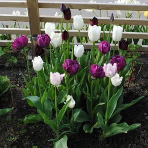 Tulpaner - Shineths svarta- purpur- och vita tuplaner (mix)