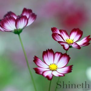 Rosenskära (Cosmos Bipinnatus-Candy stripe)