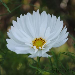 Rosenskära (Cosmos Bipinnatus-Psyche White)