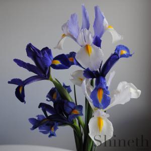 Blue Sapphire/magic, Silver beauty och Symphony-Holländsk Iris