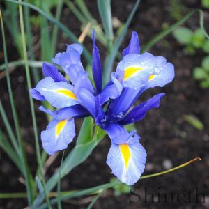 """Köp  Holländsk Iris """"Blue magic"""""""
