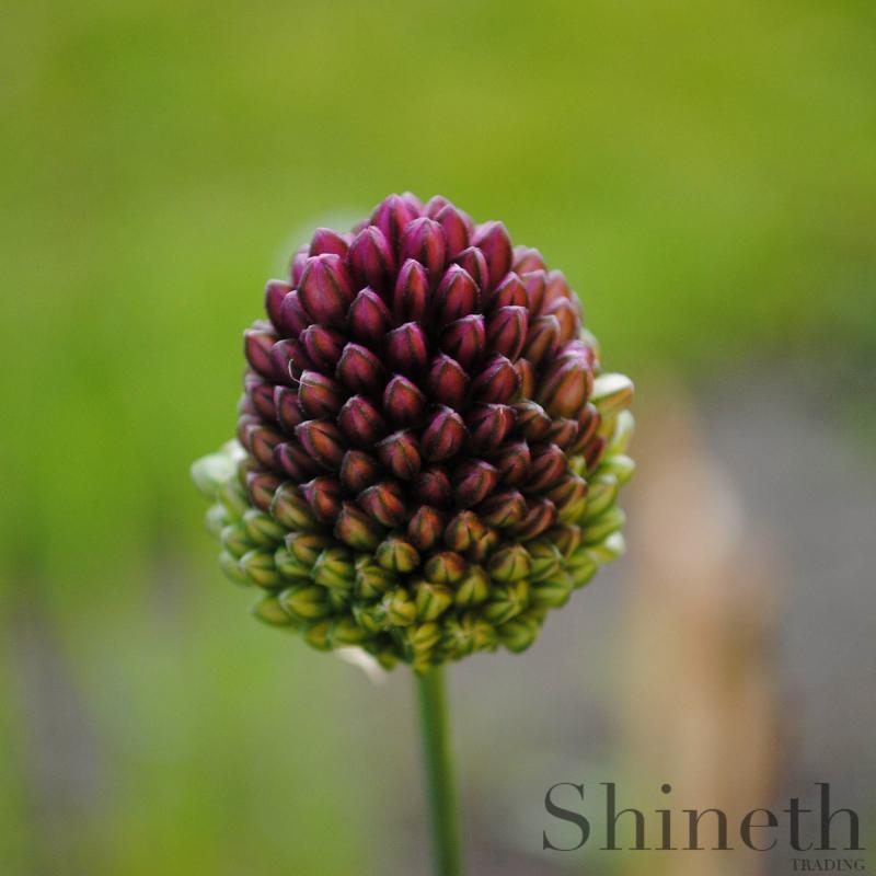"""Allium """"Sphaerocephalon"""""""