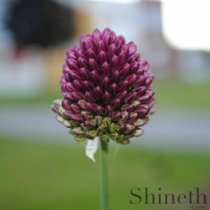 Allium Sphaerocephalon-lökar