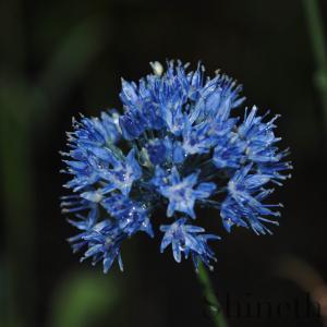 """Allium """"Azureum"""""""