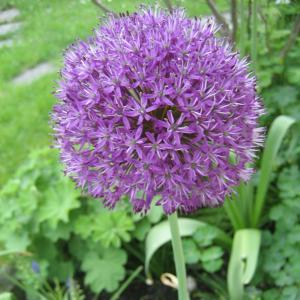 """Allium """"Aflatunense"""""""
