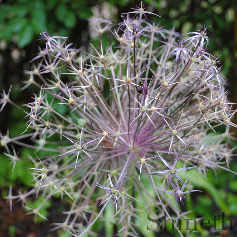 "Allium"" Christophii""-lökar"