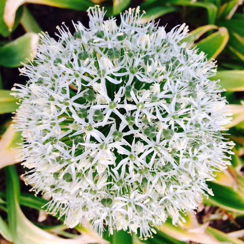 """Allium """"Mont Blanc"""""""