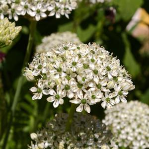"""Allium"""" Nigrum""""-lökar"""