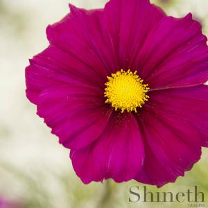 Rosenskära (Cosmos bipinnatus)