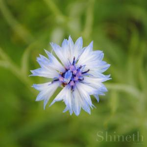 Vita blåklint - Centaurea Cyanus