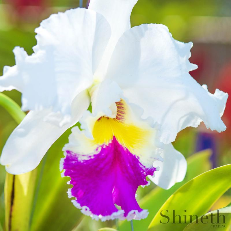 Cattleya orkidé  - Labiata amesiana