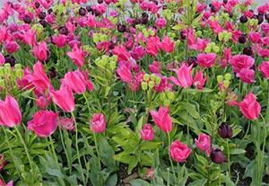 Våren möter färgglada blommor