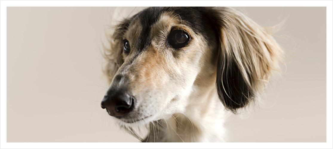 bukspottkörtelinflammation hund symptom
