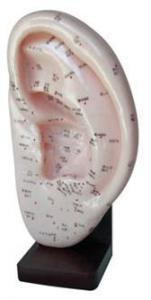 Modell, Öronakupunktur 22 cm