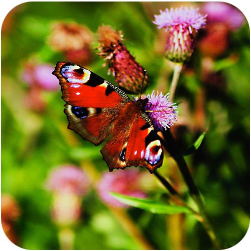 Fjäril- & humleblomster Frömix 1 kg